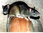 Rat Pest Control for Woodgate, Sutton Coldfield and the west Midlands.