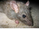 Pest control for Mice, Birmingham Pest Control  commercial and residential pest control for Birmingham, Sutton Coldfield and the west Midlands.