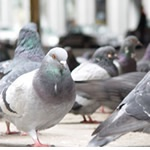 Pest control for Birds, Sparkhill Pest Control  commercial and residential pest control for Sparkhill, Sutton Coldfield and the west Midlands.