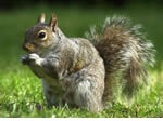 Squirrel Pest Control Wythall, Sutton Coldfield and the west Midlands.